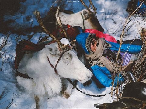 Nghề chăn tuần lộc chỉ có ở Mông Cổ tuyết trắng