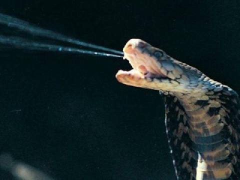 Nọc độc rắn có khả năng chữa bệnh?