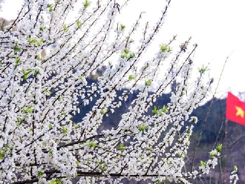 Mê mẩn với rừng hoa mận nở trắng trời Mộc Châu