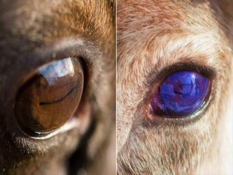 Loài thú duy nhất có thể đổi màu mắt theo mùa