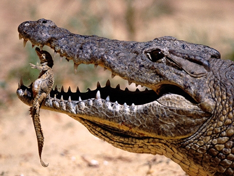 Khó tin xem cảnh cá sấu ngậm con thả xuống sông