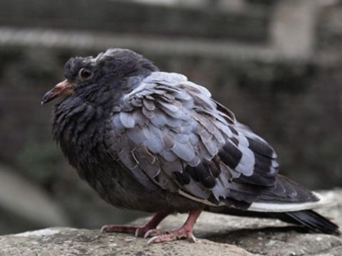 Tìm hiểu những căn bệnh bắt nguồn từ … chim bồ câu