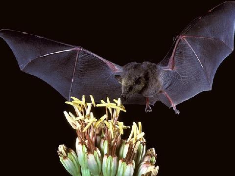 Cận cảnh loài dơi hút mật hoa xương rồng