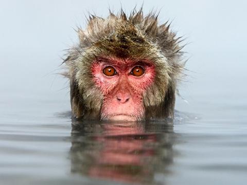 Cận cảnh đàn khỉ sang chảnh tắm suối nước nóng mỗi ngày