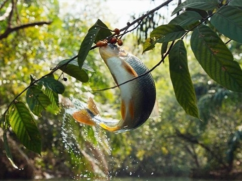 Khó tin với cảnh cá bật lên như chim để đớp trái cây