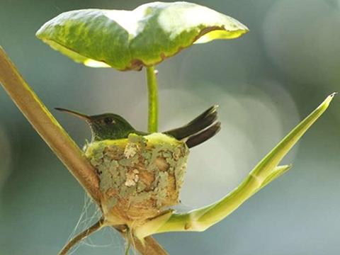 Loài chim xây tổ kèm mái che mưa siêu hiện đại