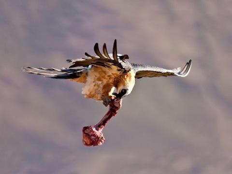 Loài kền kền bay cao tới 7000 mét cực kỳ thông minh
