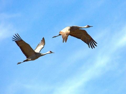 Khả năng bay lượn đỉnh cao của loài hạc trắng