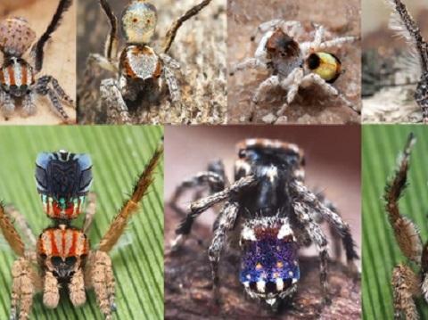 Cân cảnh 7 loài nhện chim công mới siêu đẹp