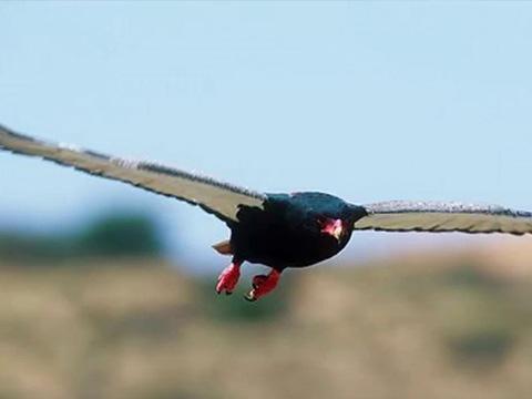 Loài đại bàng mặt đỏ được chọn làm biểu tượng của Zimbabwe