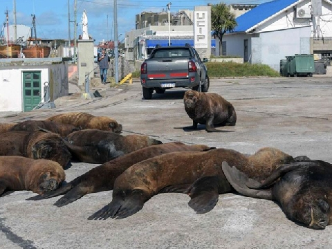 Sư tử biển lên bờ chiếm chỗ khi con người cách ly xã hội