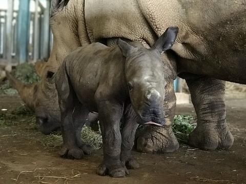 Tê giác mới sinh quý hiếm ở Phú Quốc