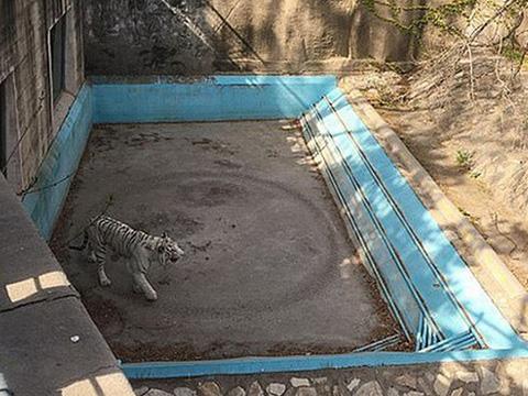 Hổ trắng liên tục đi vòng tròn trong vườn thú gây hoang mang