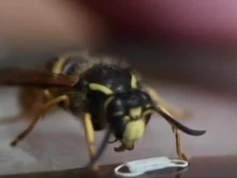 Làm khẩu trang cho côn trùng chống dịch Covid-19