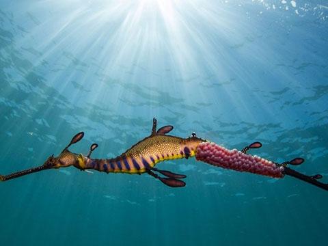 Khám phá loài hải long cỏ cực kỳ quý hiếm