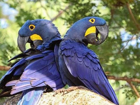 Ngạc nhiên với loài vẹt biết bay lớn nhất thế giới