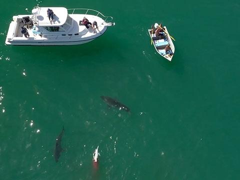 Kinh hoàng cá mập trắng xé xác cá heo ngay trước mũi thuyền