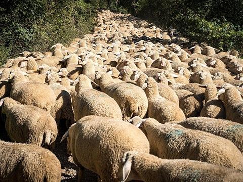 Hàng trăm con cừu chiếm lấy con đường hẹp trên núi ở Thụy Sĩ