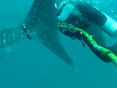 Thợ lặn cố cứu cá nhám voi bị vướng vào dây thừng