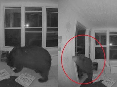 Khó tin với chú gấu biết mở cửa nhà dân tìm thức ăn