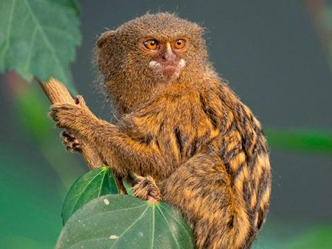 Mục sở thị loài khỉ nhỏ nhất thế giới