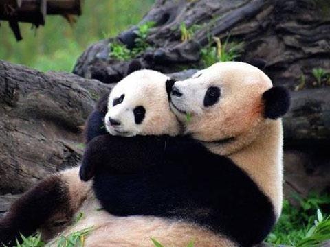 Bị thương không thể chăm con, gấu trúc mẹ ôm gấu bông để đỡ nhớ