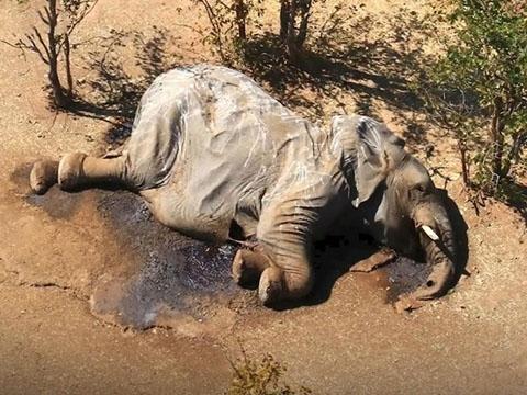 Cái chết bí ẩn của hơn 400 con voi ở Botswana