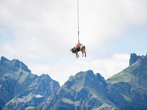 Hài hước: Dùng trực thăng di chuyển bò ở Thụy Sĩ