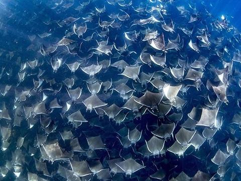Khó tin ngắm cá đuối bơi thành đàn siêu hiếm có