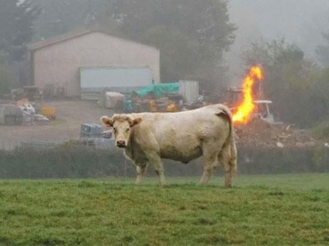 90 con bò thi nhau ''xì hơi'' đến nổ trang trại