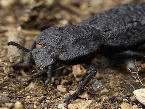 Loài bọ cánh cứng có lớp vỏ gần như không thể phá hủy