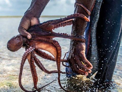 Những người dùng tay không bắt bạch tuộc