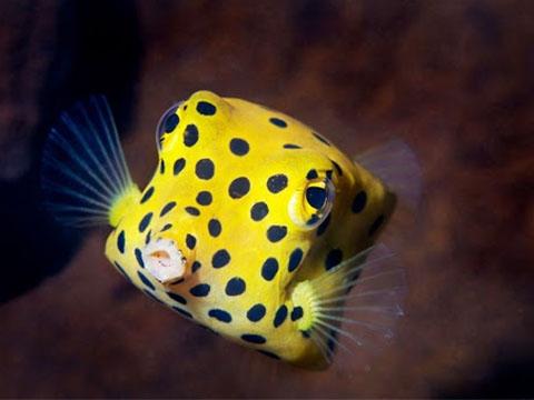 Cá nóc hòm vàng - Loài cá có hình vuông kỳ lạ