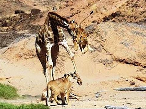 Hươu cao cổ tung liên tiếp cú đá 'trời giáng' vào bầy sư tử