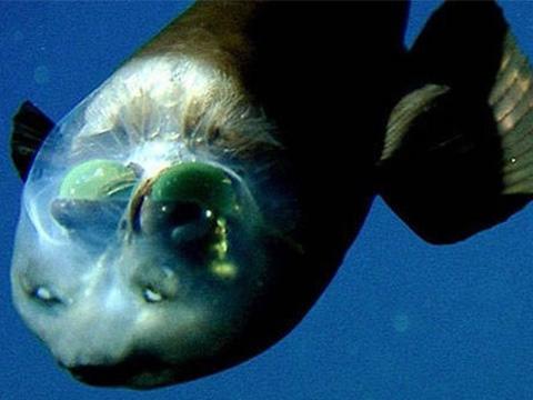 Kỳ lạ loài cá có đôi mắt nhìn xuyên đầu dưới đại dương