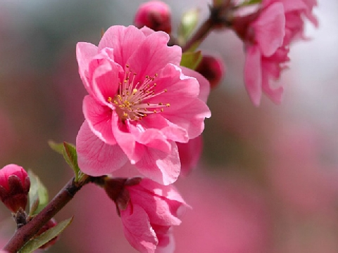 Ý nghĩa của hoa đào trong ngày Tết nguyên đán