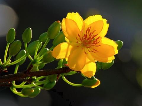 Ý nghĩa của hoa mai trong ngày tết cổ truyền