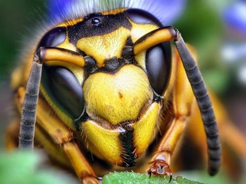 Cận cảnh loài ong biết ''tổng tấn công'' khiến kẻ thù thiệt  mạng