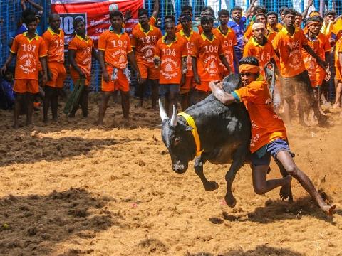 Kinh hoàng lễ hội thuần hóa trâu bò hung dữ Jallikattu ở Ấn Độ
