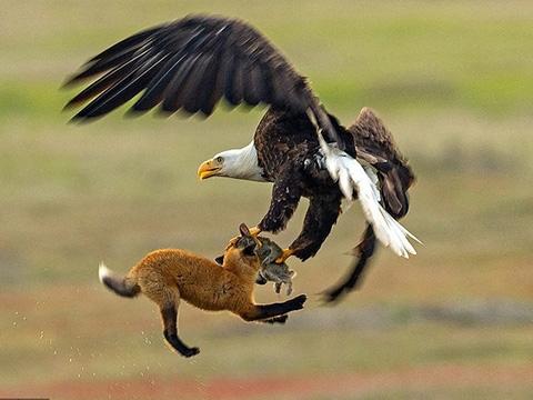 Những pha săn mồi đáng kinh ngạc của đại bàng