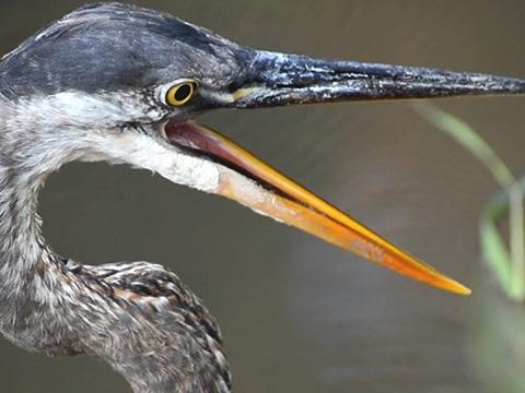 Đây là loài chim có thể nuốt chửng cá sấu và những bữa ăn kinh dị