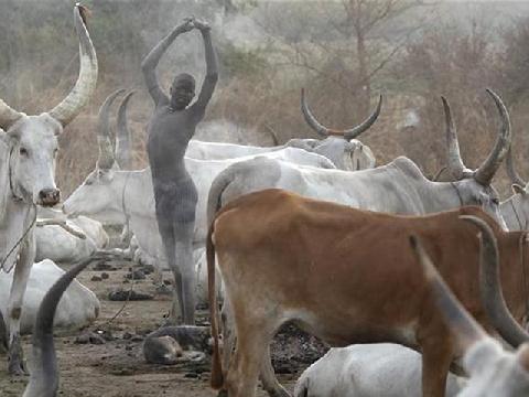 Dùng nước tiểu, phân bò để tắm gội mỗi ngày